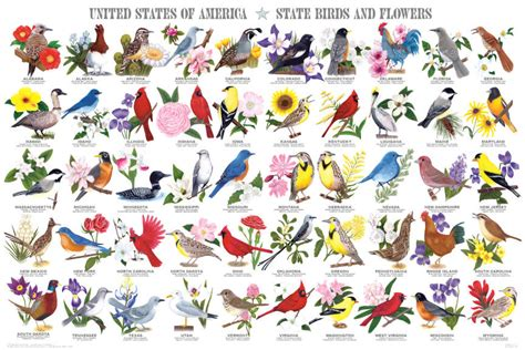 state flowers list state birds and flowers poster by feenixx publishing