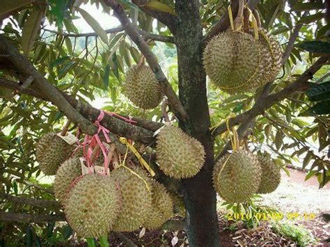 Pupuk Bunga Lebat cara agar pohon durian pendek berbuah lebat