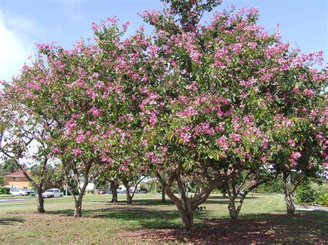 tree l bauhinia purpurea orchid tree landscape plant