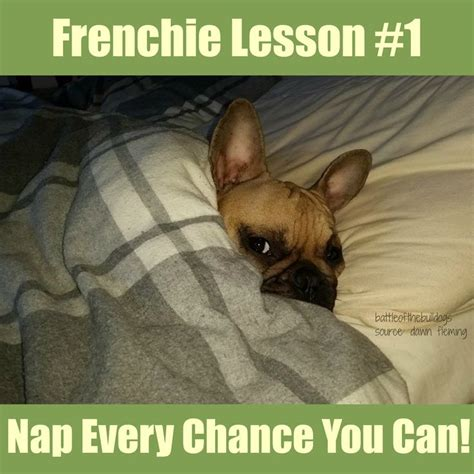 French Bulldog Meme - 111 best images about frenchie memes on pinterest