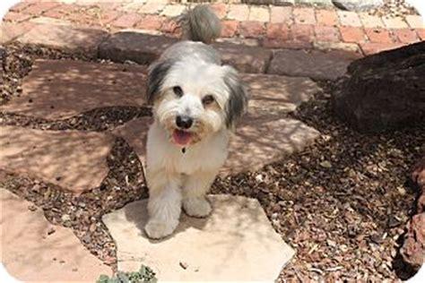 shih tzu rescue az shih tzu cairn terrier mix for adoption in mesa arizona shamus