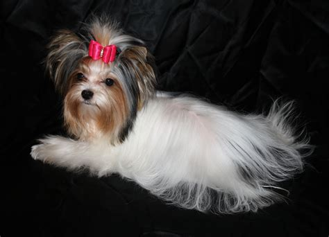yorkie breeders in ontario yorkie teacup for sale ontario dogs in our photo