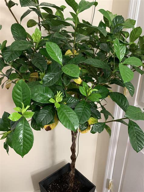 gardenia tree   turning yellow