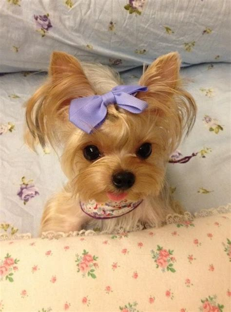 teacup yorkie with bow best 25 teacup yorkie ideas on teacup morkie yorkie puppies and teacup