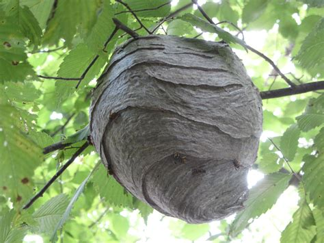 Bees That Make Paper Nests - paper wasp nest in the paper