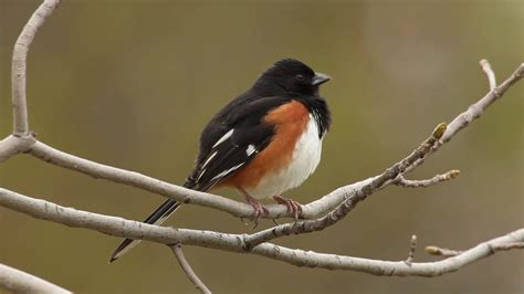 eastern towhee youtube