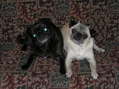 do pugs shed a lot any other pug owners post here how much allergic terrier rescued dogs