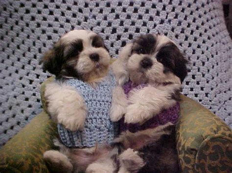 pats precious puppies puppy breeder maltese puppies for sale in south carolina