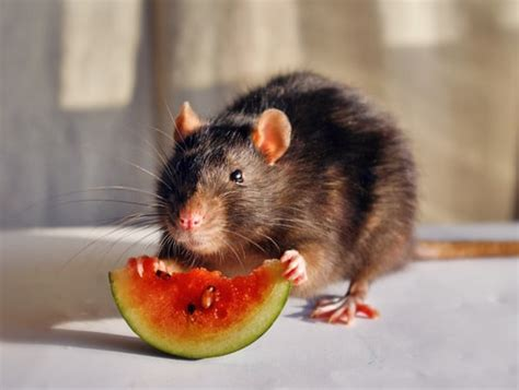 Would You Eat A Rat by What Do Rats Eat Terminix