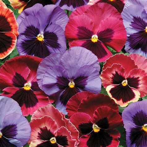 pansy colors blooms for beds and borders official of