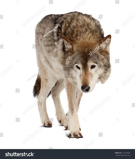 wolf with wolf canis lupus isolated white stock photo 121367083