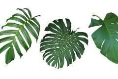 Monstera Luftwurzeln Abschneiden by Philodendron Schneiden 187 So Gelingt Der Schnitt Des