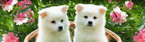 siberian samoyed puppies dogs puppies free web headers