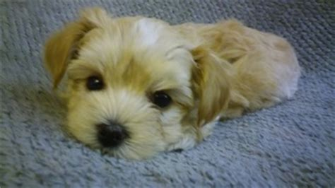 puppies for sale in portland oregon view ad morkie puppy for sale oregon portland