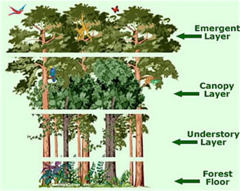 Canopy Biology Definition El Yunque S 4 Layers