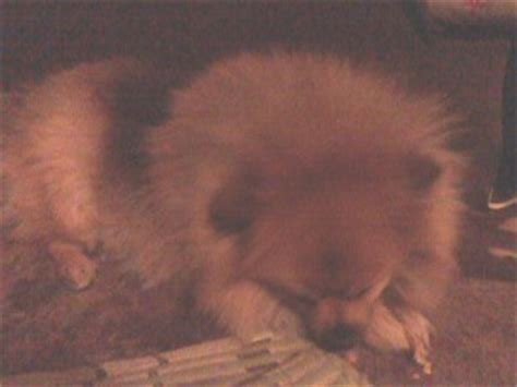 overweight pomeranian overweight and seemingly distressed pomeranian