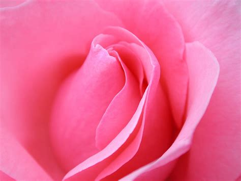 themes rose flower 40 beautiful flower wallpapers for your desktop hd