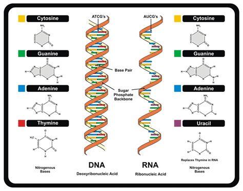 dna molecule diagram pin molecular genetics dna replication on