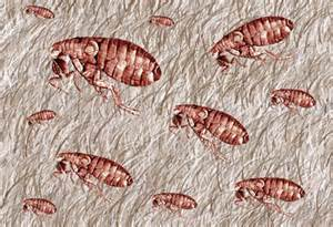 Treating Carpet For Fleas Parasitic Pests Fleas In Carpet