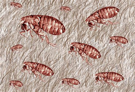 Fleas In Rug by Parasitic Pests Fleas In Carpet