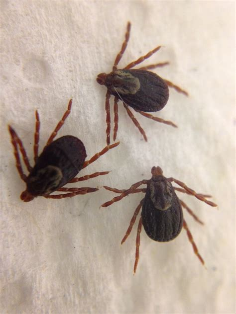 how to take a tick a how to remove a tick den herder veterinary hospital