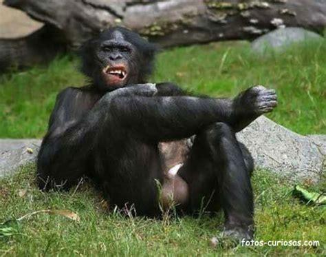 imagenes comicas de monos fotos de humor y divertidas monos animales monos comodon