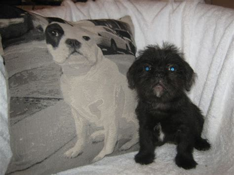 pug tzu for sale pug tzu puppies for sale one boy newark nottinghamshire pets4homes