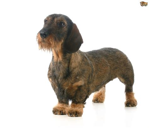 breeds with some popular wirehaired breeds pets4homes