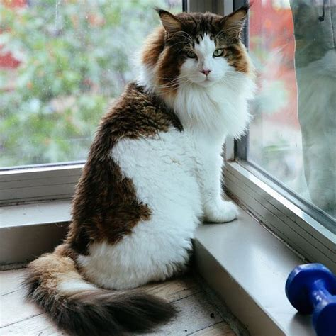 cat majiroge by samson cosmetik samson the maine coon is the size of a grown bob cat