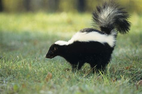 skunk spray what do i do if my pet or i get sprayed by a skunk