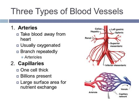 Blood Typr 3 blood vessels circulation ppt
