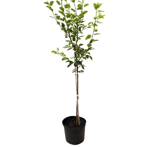 flordahome pear tree peaflo05g the home depot