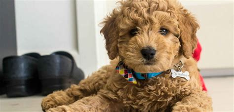 mini goldendoodle breeders golden doodle price goldenacresdogs
