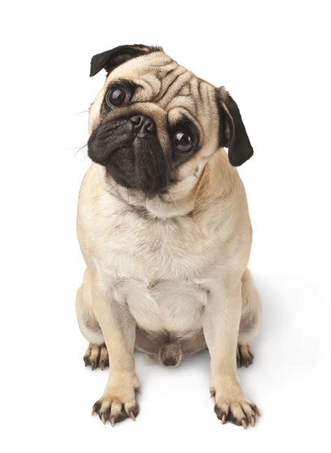 similar to pug new research on s brains uncover s emotional responses similar to humans