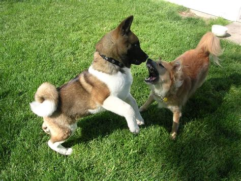american akita puppies two american akita puppies on the grass photo and wallpaper beautiful two american