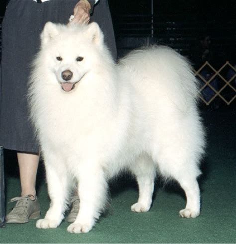 samoyed puppy for sale find a samoyed puppy for sale dogs our friends photo