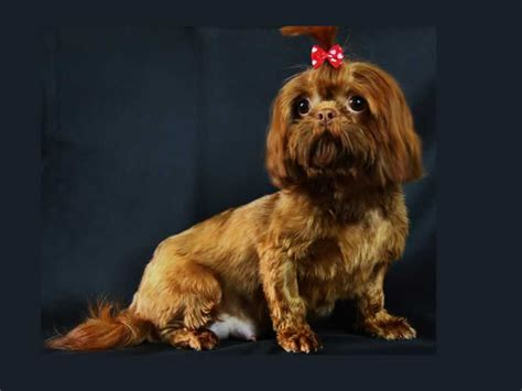 what is an imperial shih tzu imperial shih tzu 1001doggy
