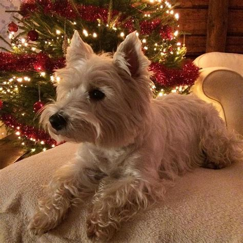 short westie cut google search animals pinterest pin westie haircuts on pinterest cosy winter morning