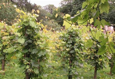 Pala Sabuk P W Garut cara budidaya budidaya anggur