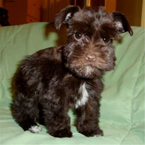 brown schnauzer puppies for sale a brown baby schnauzer i cry puppies toys design and