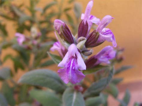 salvia in vaso foto fiori di salvia in vaso salvia comune