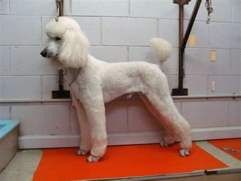 types of dog grooming cuts types of poodle clips pet clip standard poodles