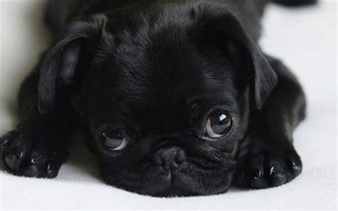pugs faces baby pug ftr