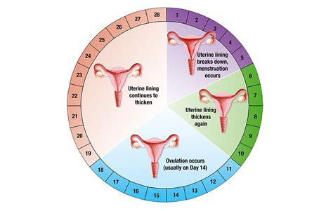 Calendar Method Calculator For Irregular This Diet Tailored To Your Menstrual Cycle Could Help You
