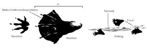 file beaver tracks jpg wikimedia commons