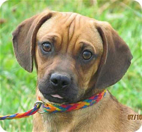 pug adoption island mr wrinkles adopted providence ri pug dachshund mix