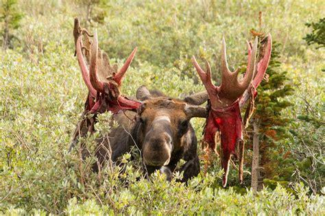 bull moose during antler shedding natureismetal