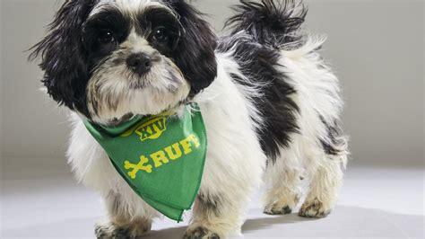 puppy rescue orlando puppy bowl florida rescue back in orlando sentinel