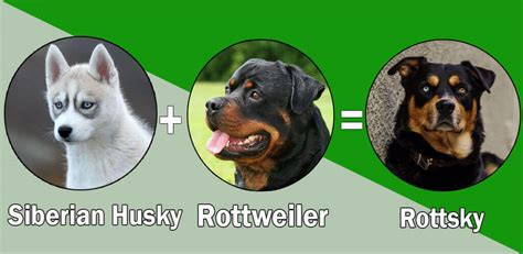 siberian husky rottweiler top 10 rottweiler cross breeds mix breeds