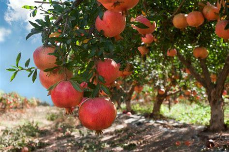 melograno coltivazione in vaso melograno coltivazione variet 224 e cultivar